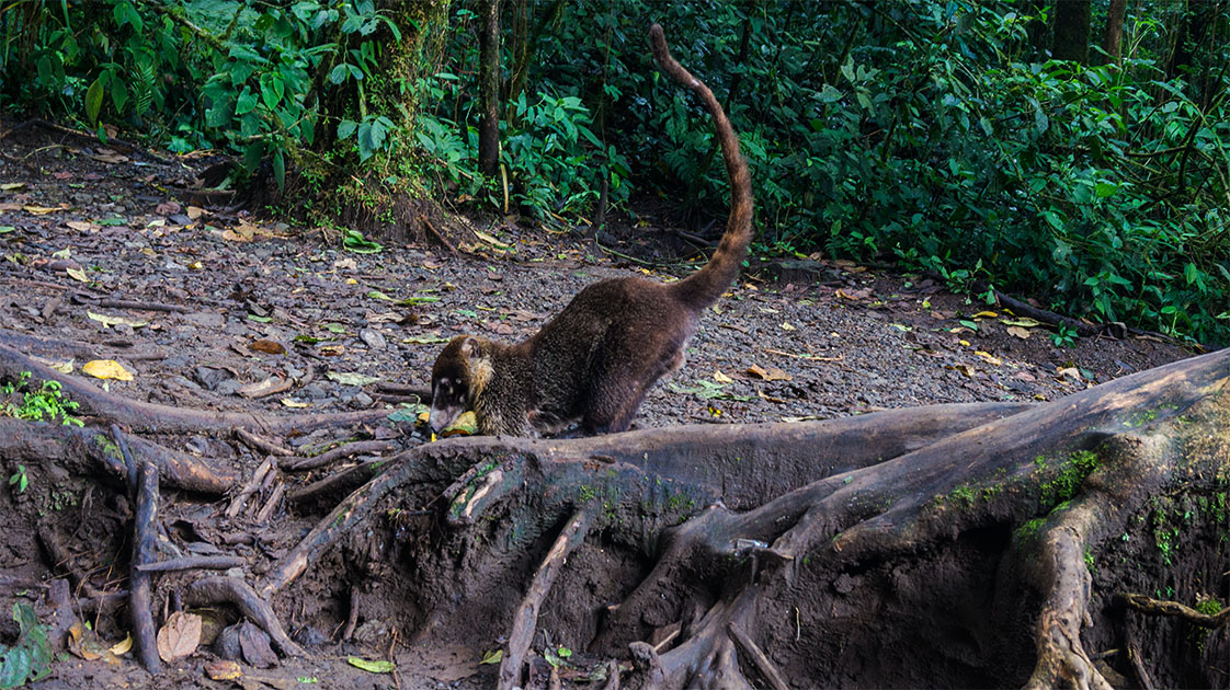 CERRO CHATO TRAIL13_LAGUNA_COATI