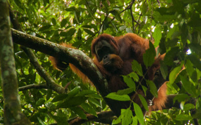 Carnet n°47 – Bukit Lawang : à la rencontre des Orang-Outan de Sumatra