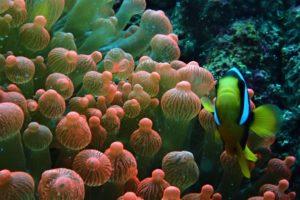 anemone bulle à pulau weh