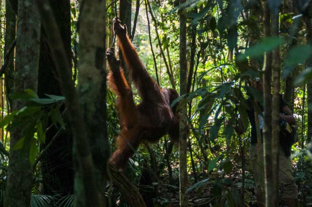orang outan à bukit lawang