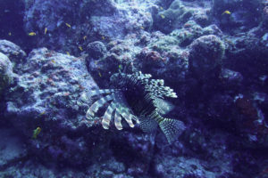 lionfish pulau weh